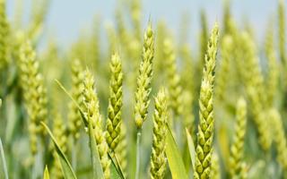青い小麦.png